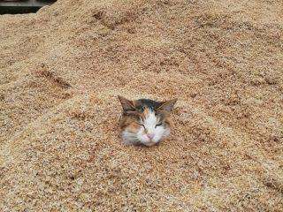まるで砂風呂?もみがらに埋もれたネコさんの表情がなんとも言えずカワイイ!