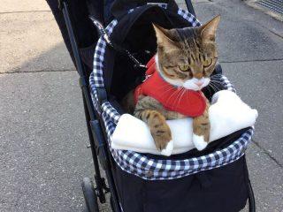 お散歩大好き!カートに乗ってお出かけ準備OKアピールをする猫さんがかわいい