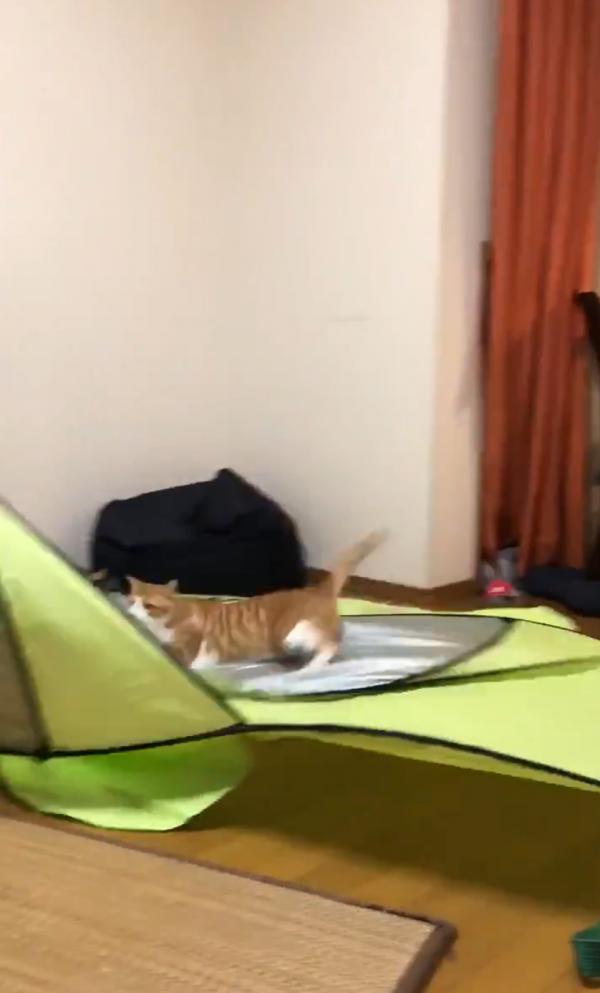 猫に押しつぶされるテント