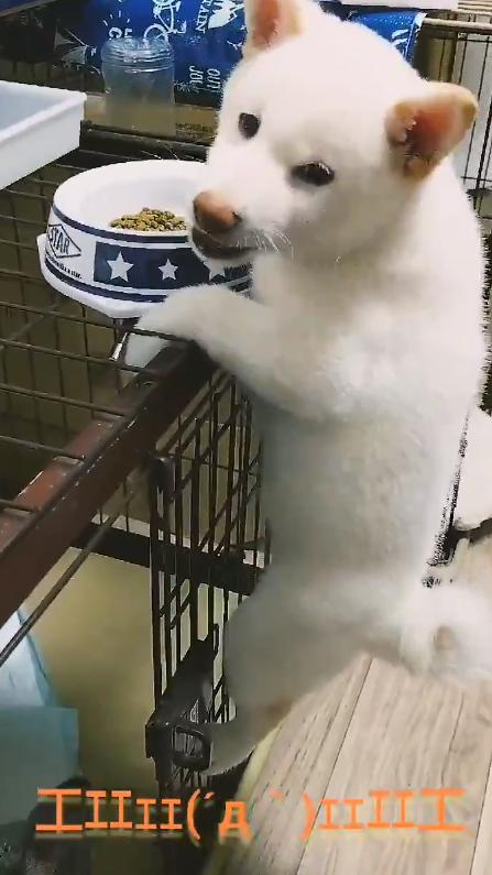 エサを盗み食いする白柴の子犬のアップ