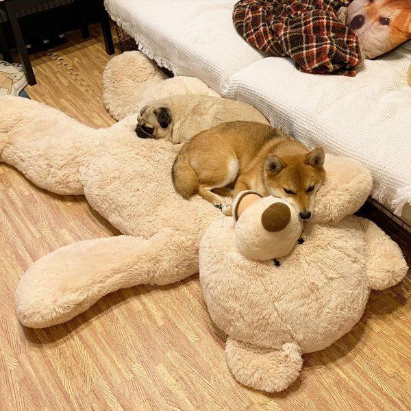 柴犬とクマ