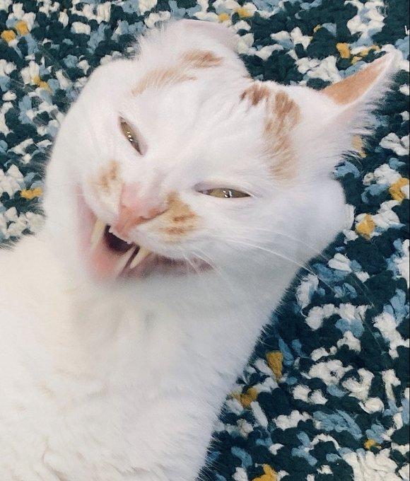 猫のあくび顔(アップ)