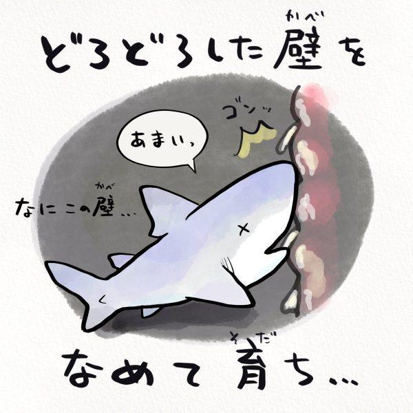 壁をなめて育つホホジロザメ