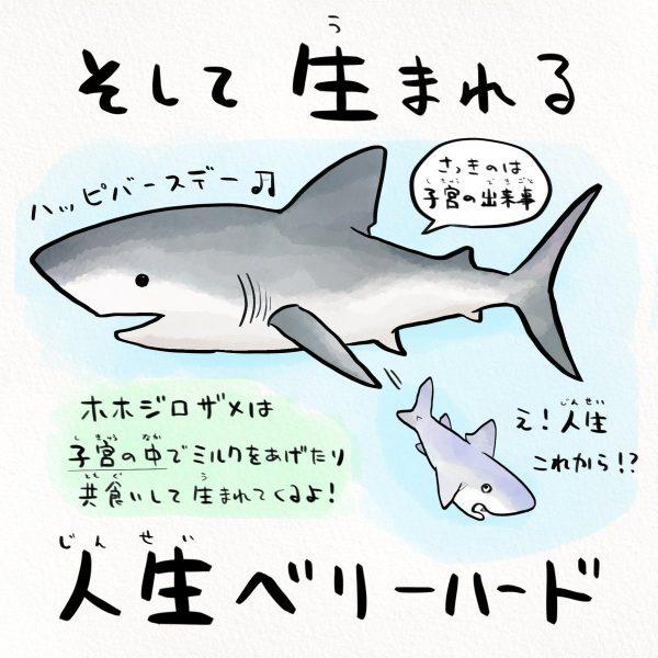 ようやく生まれたホホジロザメ