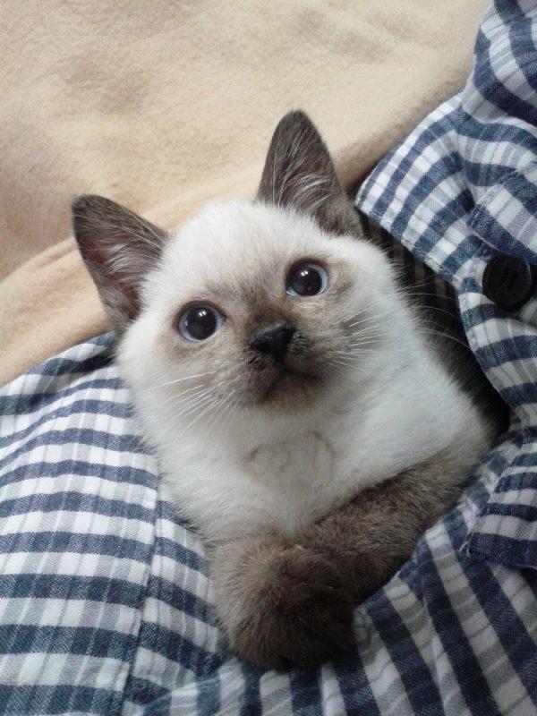 シャム猫の子猫