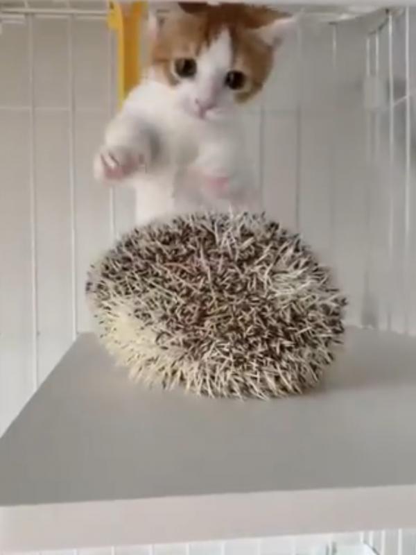 ハリネズミを触ろうとする猫