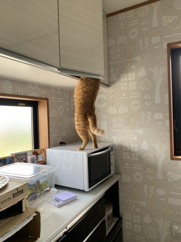 棚を開けている猫