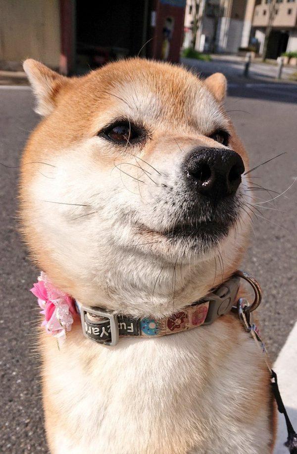 柴犬せんちゃん