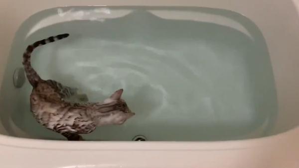 お風呂の中を歩く猫