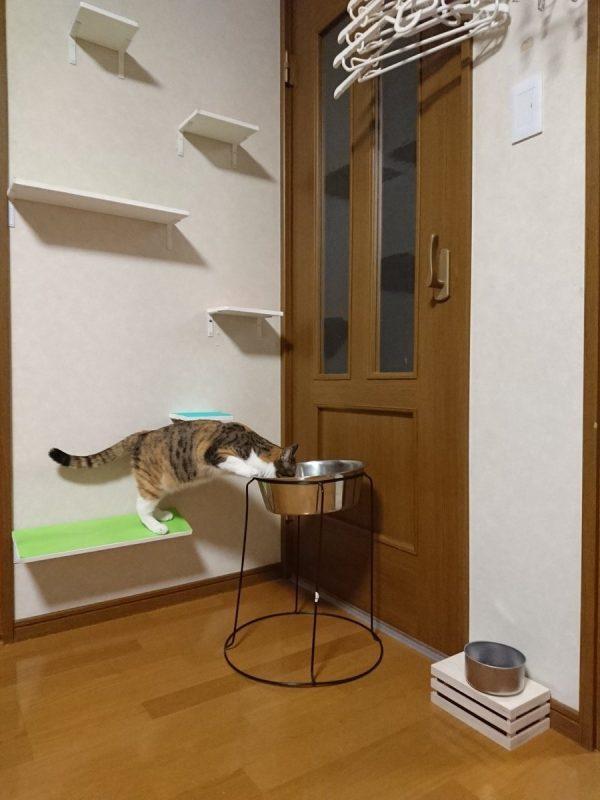 犬用の水を飲む猫