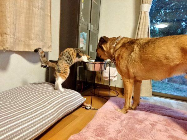 同じタライの水を飲む犬と猫