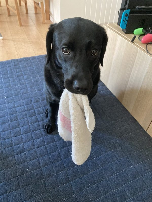 タオルをくわえておすわりする犬