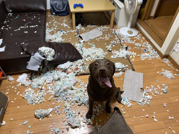 クッションの中身が散らかる床と、おすわりする犬
