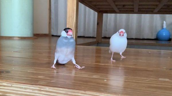 両足を広げて止まる文鳥