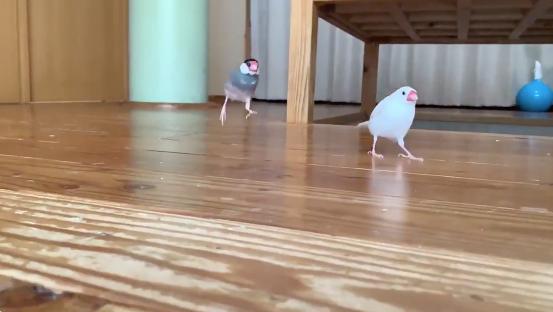 ジャンプする文鳥
