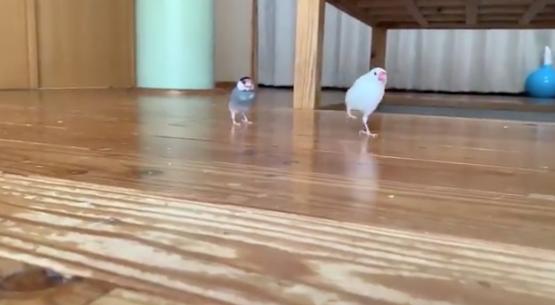 走っている2羽の文鳥