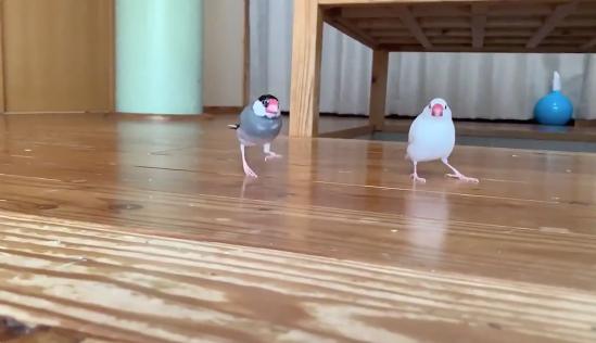 追いかけっこする2羽の文鳥