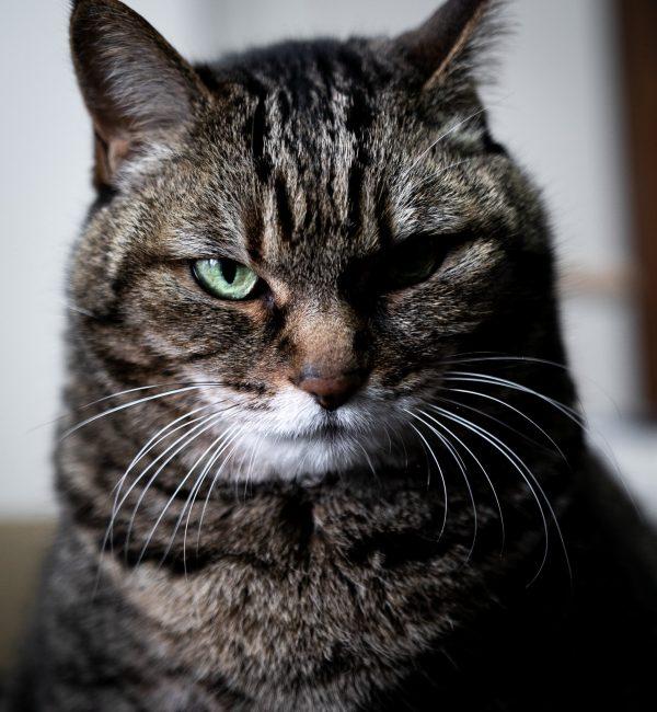 きりりとした顔つきの猫