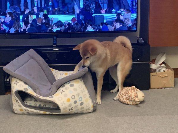 ペットハウスに興味を持つ柴犬