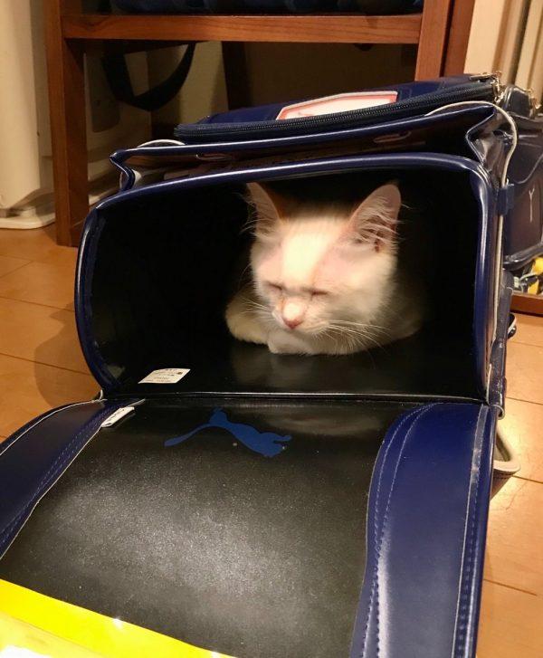 ランドセルの中で眠る猫